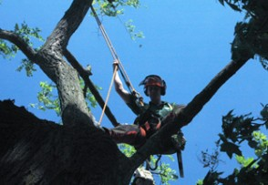 On of our tree surgeons in action.