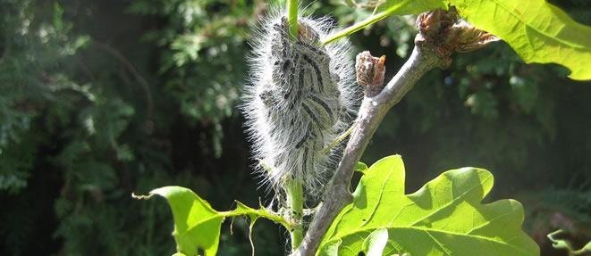 Oak Processionary Moths on a plant.